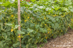Trombocino squash plants held in by chickenwire fence in a vegetable garden