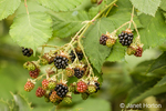 Cultivated blackberry bush with berries at various stages of ripeness