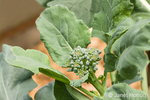 Side shoot on broccoli plant in a vegetable garden