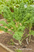Dwarf Blue Scotch kale growing in a garden