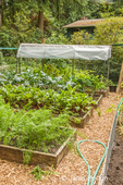 Row of raised bed gardens, with carrots in the foreground bed, then Red Ace beets, the lettuce growing in a covered raised bed garden, to protect it from hard rains and to give it a longer growing season