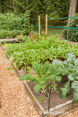 Row of raised bed gardens, with Dutch ?Scotch kale in the foreground bed, then Red Ace beets, then carrots, in a woodsy area
