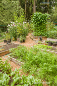 Garden full of raised bed gardens, including red ace beets (foreground), carrots, potatoes (background left), pole green beans and kale sprouts in a woodsy area
