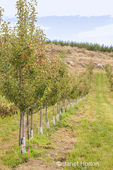 Apple trees in rows on a north-facing slope in apple-growing country