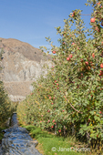 Apple trees in rows  in apple-growing country