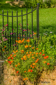 Marigolds growing over Dubuque dolomite stone wall with black wrought iron fence