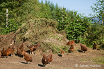 Freedom Ranger Chickens are free-ranging and eating small green tomatoes from a compost pile