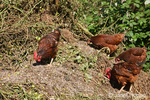 French Colored Range Chickens are free-ranging and eating small green tomatoes from a compost pile