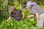 Man in his fifties and woman in her sixties harvesting Provider Blue Lake green beans in a vegetable garden