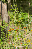 Cherry tomatoes growing in a tomato cage in a vegetable garden next to a woods