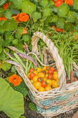 Basket of freshly havested organic produce, including red cherry tomatoes, yellow (Gold Nugget) cherry tomatoes, green pole beans, Dragon Tongue beans, and YaYa carrots, in a garden with nasturtiums flowers in the background
