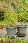 Gold Nugget cherry tomatoes growing in containers sitting on rollers, in front of pansies in a flower box, on a patio