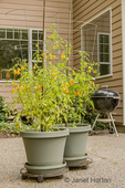 Gold Nugget cherry tomatoes growing in containers sitting on rollers on a patio