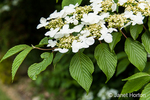 Doublefile Viburnum large flowering, deciduous shrub in blossom