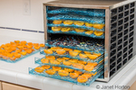 Electric dehydrator full of raw apricot and cherry halves ready to be dehydrated.