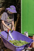 """Women using garden pruners to cut up garden waste into pieces no bigger than 1"""" for successful, quick composting."""