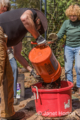 Man adding rabbit manure to a compost bucket.  Barnyard manure is considered compost greens.