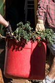 Two men carrying garden waste (kale), readying to cut it into small pieces in preparation for composting.