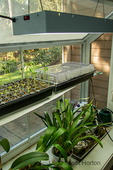 Starting lettuce and sunflower seedlings indoors in a garden window