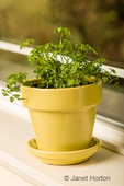 Pot of garden chervil, an uncommon culinary herb, also called chervil, or French parsley, is a delicate annual herb related to parsley.