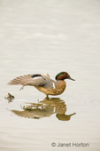 This male Green-winged Teal is a dabbling duck common in very shallow marshes and flooded fields or on mudflats.