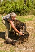 Woman using sheep shearing scissors to shear an Icelandic sheep