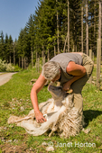 Woman using sheep shearing scissors to shear an Icelandic sheep