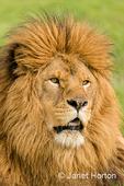 Male lion resting in a meadow