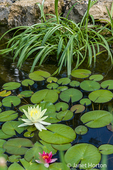 Waterlillies blooming in a pond