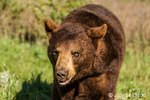 Portrait of Grizzly bear walking toward you