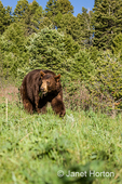 Grizzly bear walking in meadow