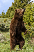 A Grizzly bear can see, hear, and smell better standing up than he can when he is down on all four legs.