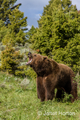 Grizzly bear growling, showing his large teeth
