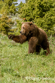 Grizzly bear with outstretched paw