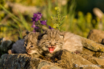 Young bobcat kittens perched on a ledge in springtime