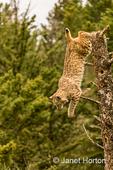 Bobcat jumping off of a dead tree