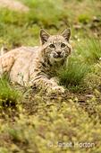 Bobcat lying in wait in a meadow