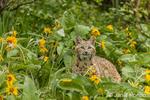 Bobcat sitting in a field of Mules Ear wildflowers