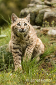 Bobcat standing in a meadow