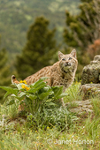 Bobcat searching for prey in a meadow