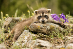 Baby raccoon trying to climb over some rocks