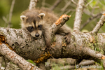 Baby raccoon perched precariously on a dead log