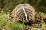 American Badger digging a hole