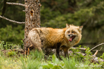 Adult Red Fox in a forest