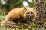Adult Red Fox