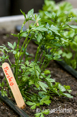 Italian Plain  or garden parsley growing in a raised bed garden with drip irrigation