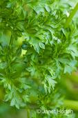 Italian Plain  or garden parsley growing in a raised bed garden