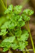 Italian Plain or garden parsley growing