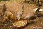 Ameraucana and other hens eating scratch from a poultry feeding dish inside a chicken pen