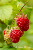 Cluster of raspberries in various stages of ripeness growing on a vine